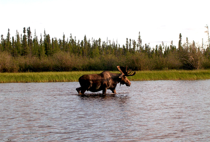 Bain Moose