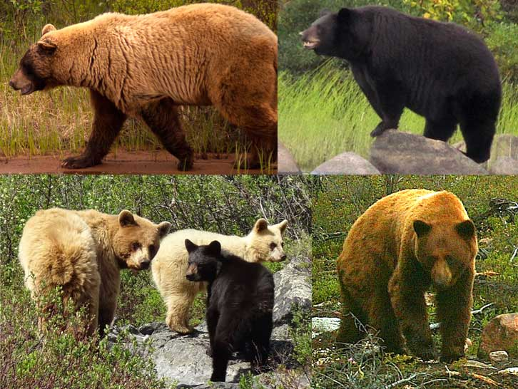 Bears of North Seal