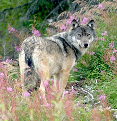 Wolf North Seal