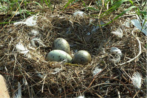 seagull-eggs