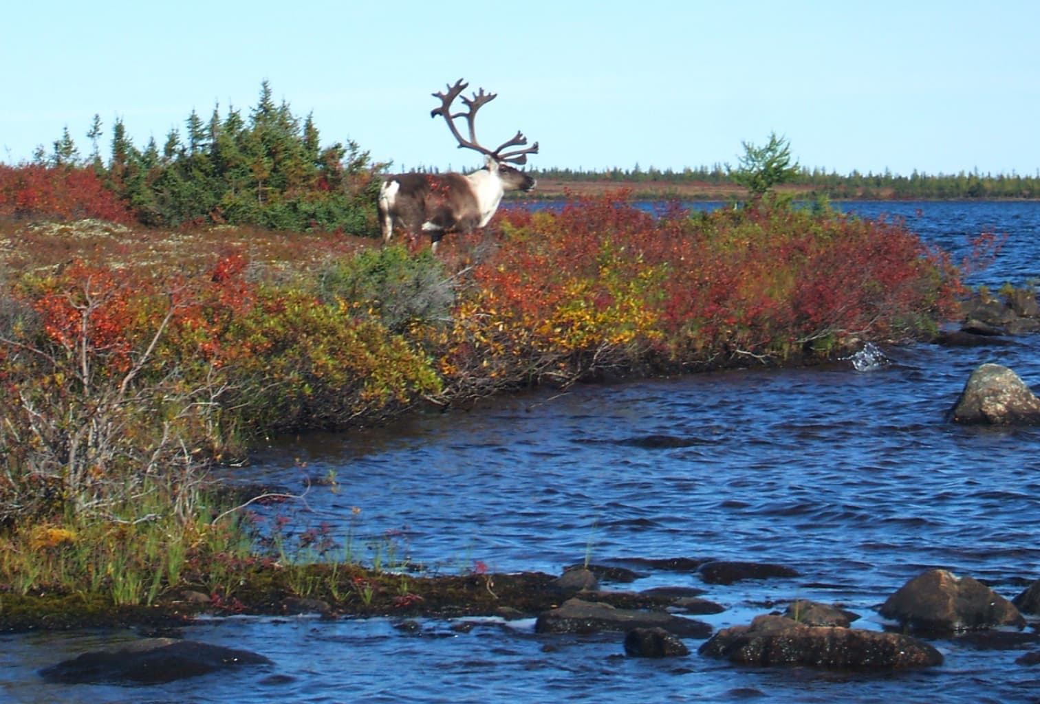 Landscape image with some fall colors with blue lake water on the right and a caribou looking out over the water