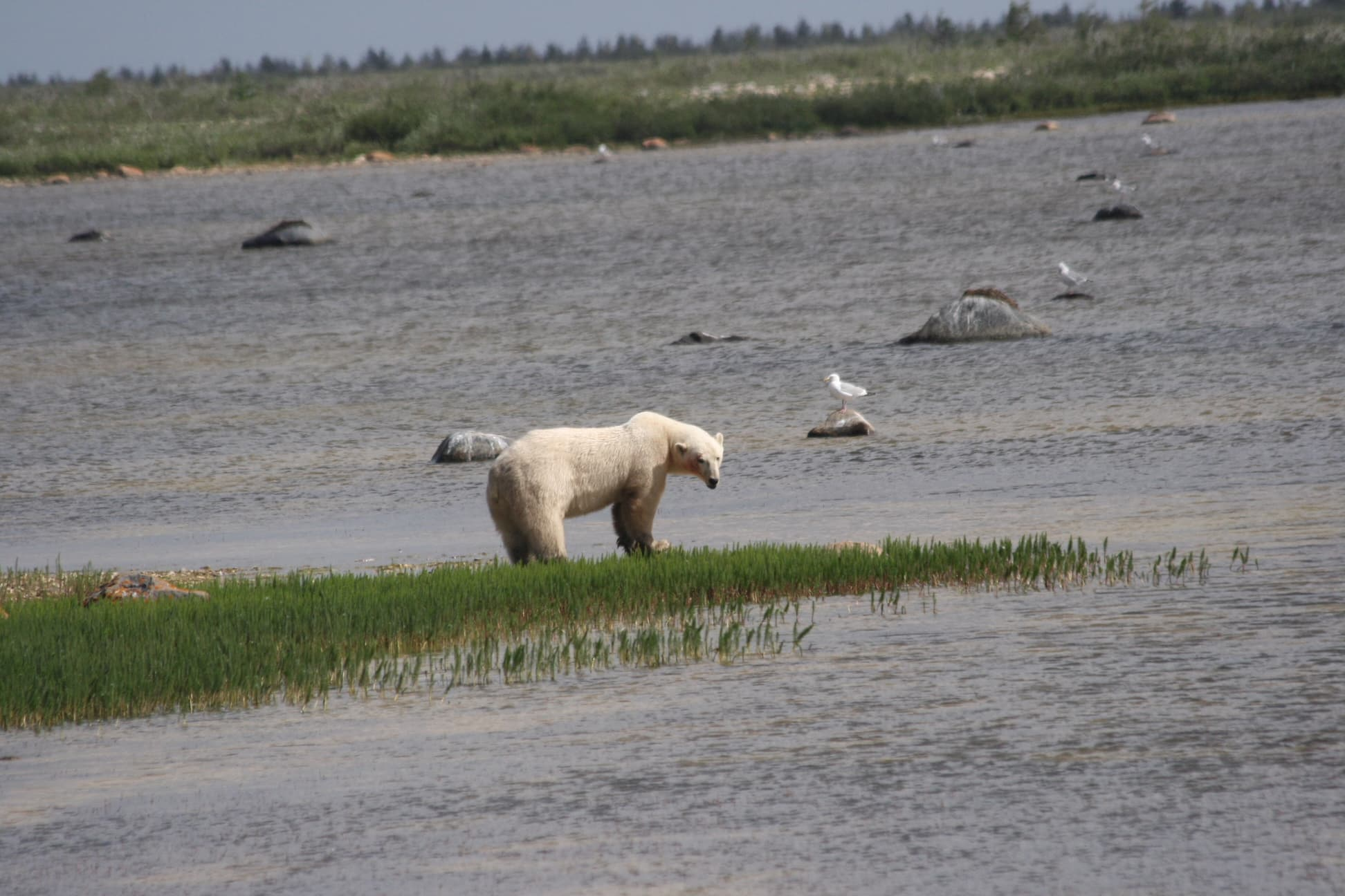 polar bear standing in the middle of a marsh and surrounded by water